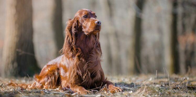 Le setter irlandais, un chien ardent