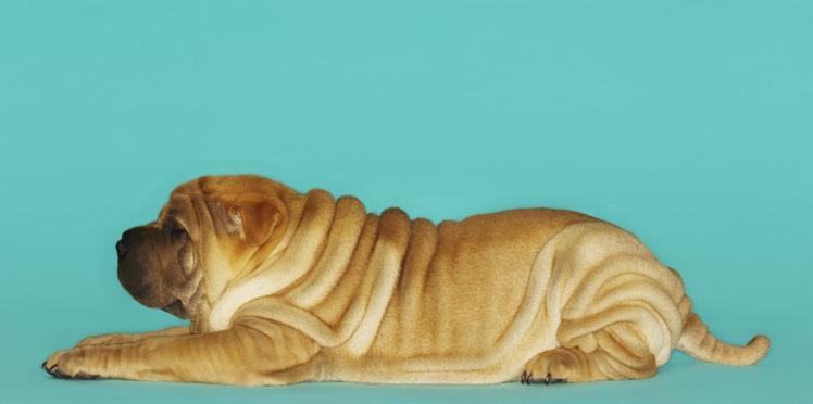 Le shar-pei, un chien tout plissé