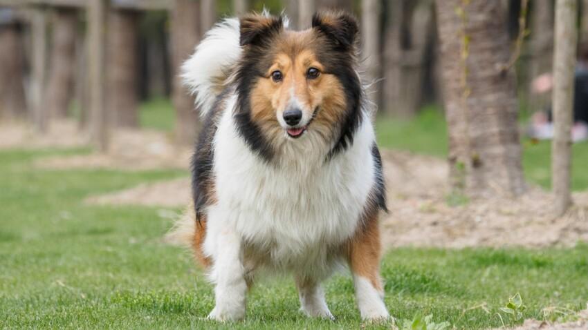 Le shetland, un chien sympa