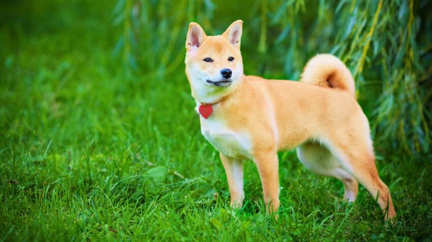 Le shiba inu, un chien solide