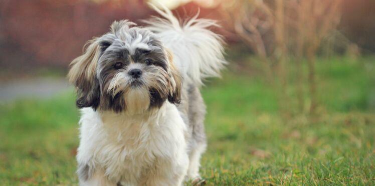 Le shih tzu, un chien irrésistible