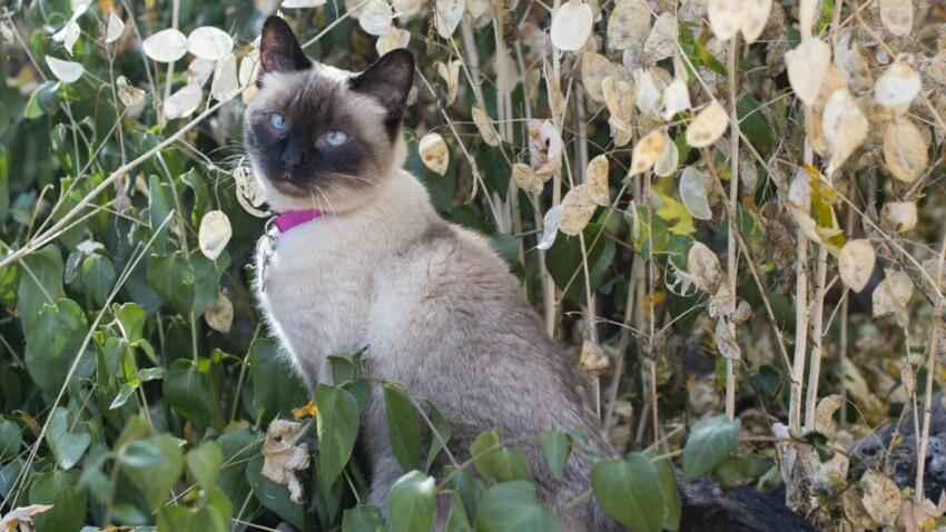 Le siamois, un chat fort bavard
