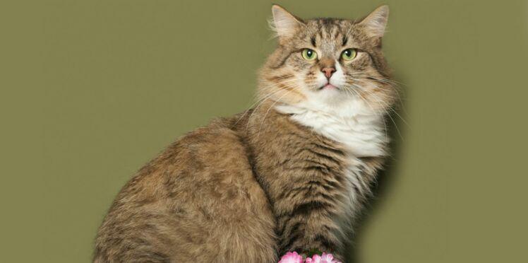Le sibérien, un chat gigantesque