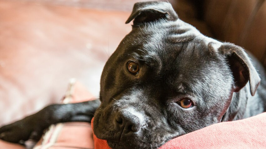 Le staffordshire bull terrier, un chien agile