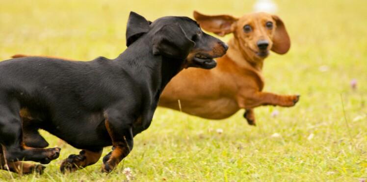 Le teckel, un chien, 3 versions