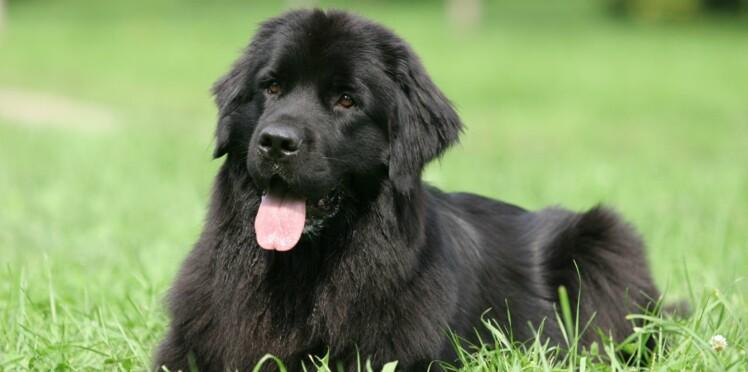 Le terre-neuve, un chien plus que parfait