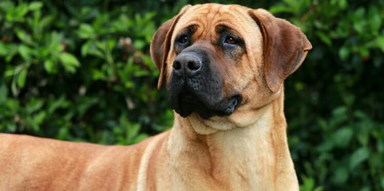 Le tosa, un chien venu du Japon