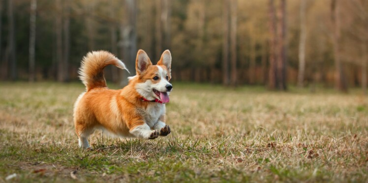 Le welsh corgi, un chien royal