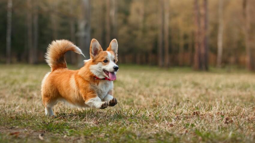 Le welsh corgi, un chien royal