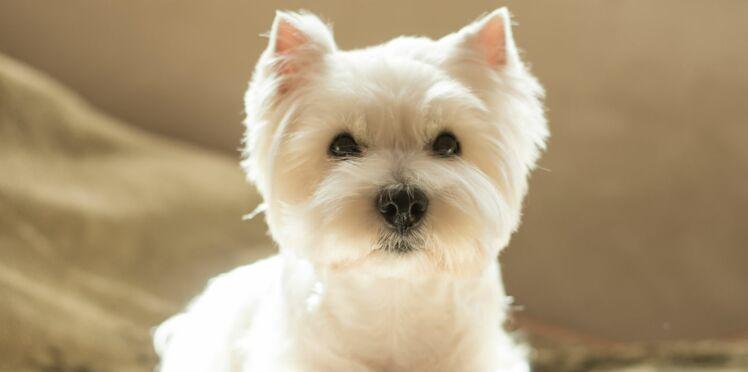 Le westie, un chien espiègle