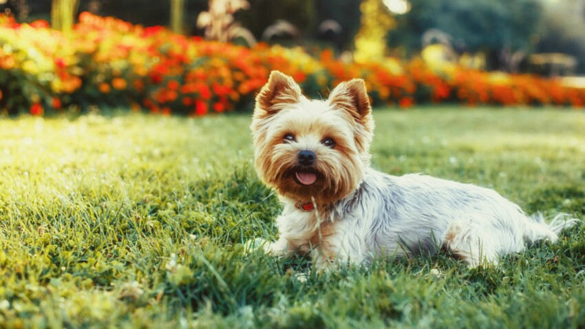Le yorkshire, un chien miniature