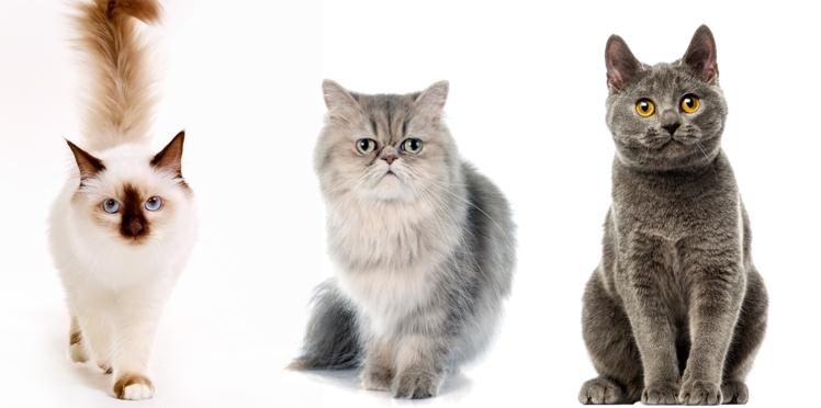 Sacré de Birmanie, Persan, Chartreux... L'histoire des noms de chats