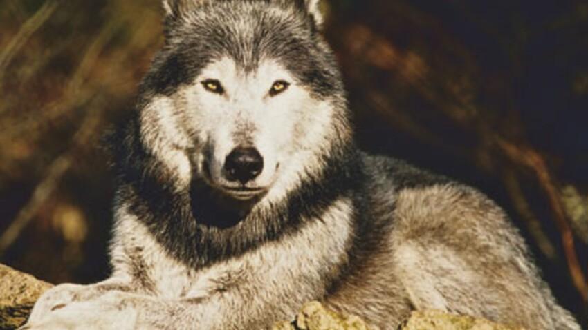 Le loup en images