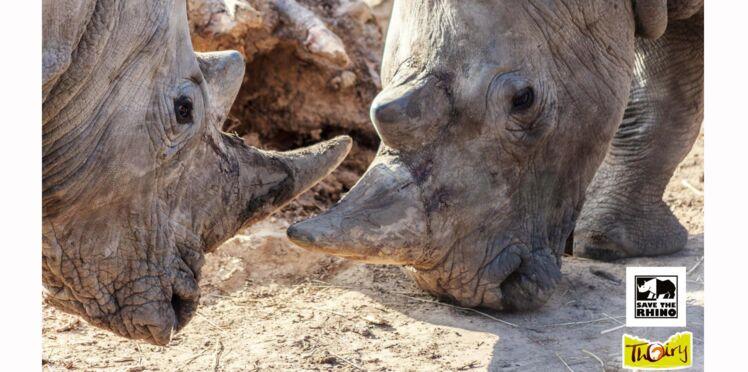 Au zoo de Thoiry, un rhinocéros est abattu par des braconniers pour sa corne