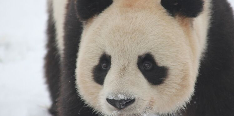 Un an déjà pour les deux pandas de Beauval