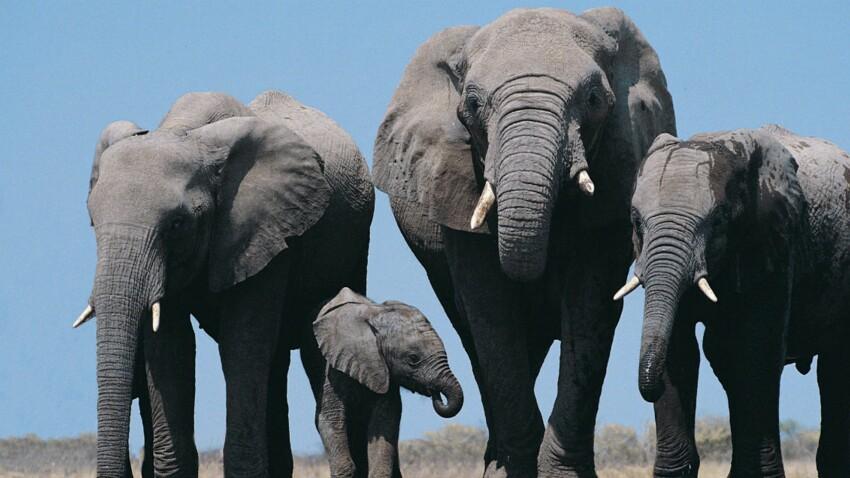 Au Kenya, la population d'éléphants s'est accrue