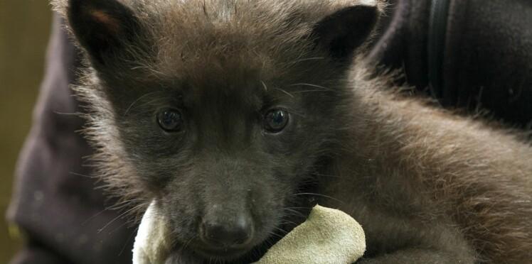 Naissance d'un bébé loup tout noir