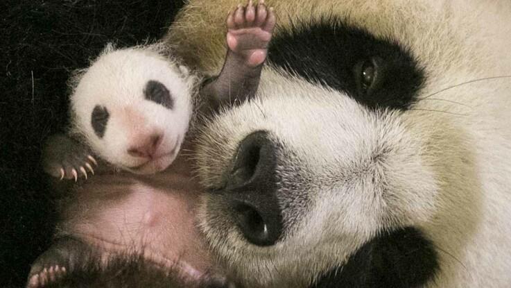 Vidéo Le Bébé Panda Du Zoo De Beauval Et Il Va Forcément Vous