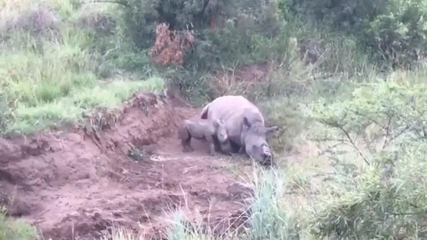 Un bébé rhinocéros tente de réveiller sa mère en vain...
