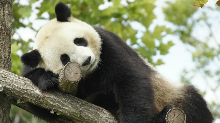 Bientôt un bébé panda en France ?