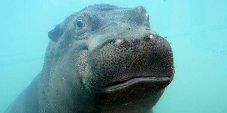 Bienvenue aux hippopotames de Beauval