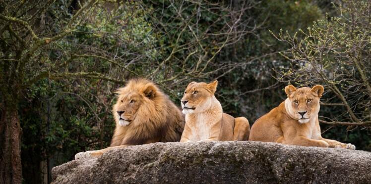 Des braconniers dévorés par des lions en Afrique du Sud