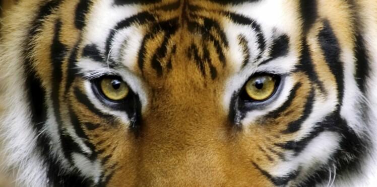Chic, les tigres sont de retour !