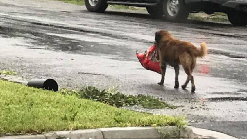 Ce chien devient un vrai héros après la tempête Harvey