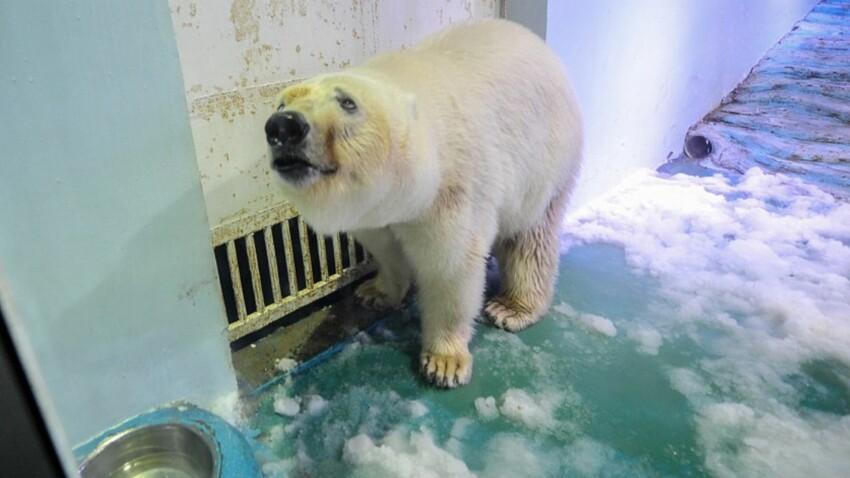 """Sauvez Pizza, l'ours polaire """"le plus triste du monde"""""""