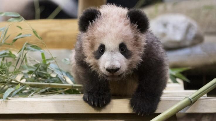 La Chute Impressionnante Du Bébé Panda De Beauval Femme Actuelle