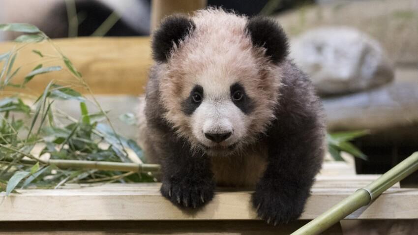 La chute impressionnante du bébé panda de Beauval