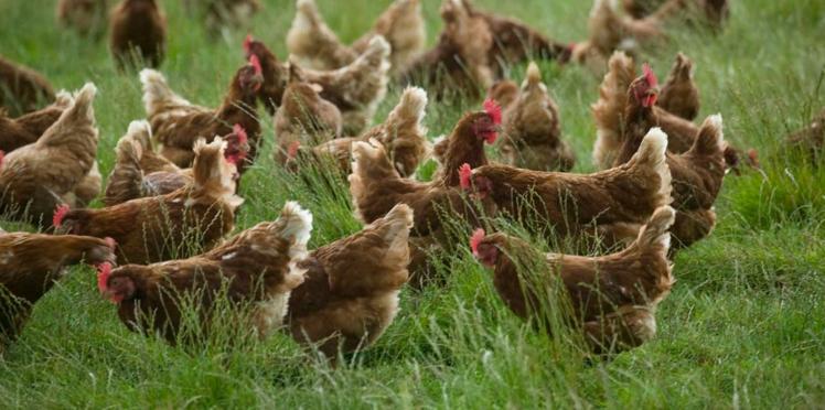 Cocorette : l'élevage des poules heureuses !