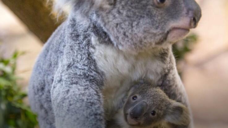 VIDÉO - Découvrez Tinaroo, le bébé Koala né au Zoo de Beauval