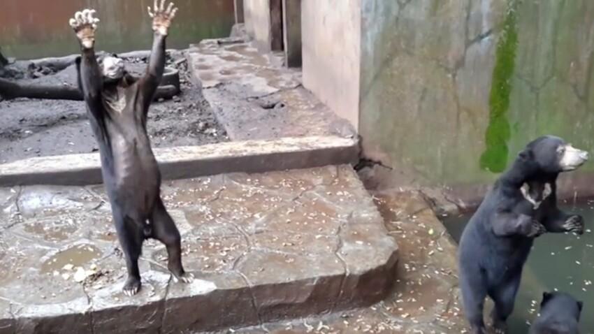 VIDEO – Des ours affamés, en captivité dans un zoo indonésien