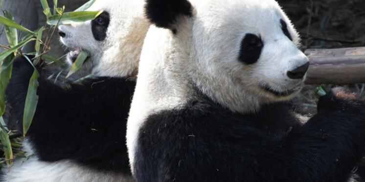 Deux pandas sont arrivés au ZooParc de Beauval