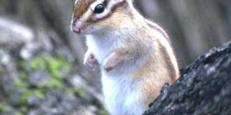 Ecureuil de Corée : attention danger