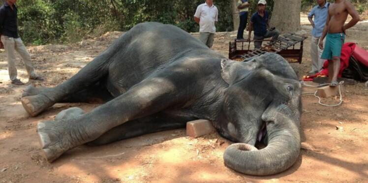 Epuisé, un éléphant meurt en transportant des touristes au Cambodge