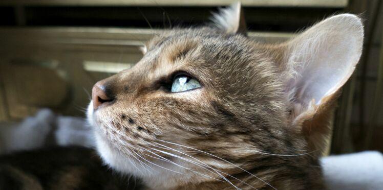 Les chats aussi sont concernés par l'hypertension artérielle