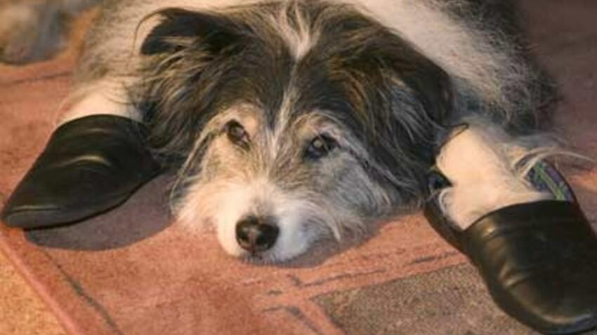 Un chien sur quatre de plus de sept ans peut souffrir d'une grave maladie du coeur