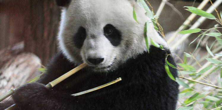 Quand il fait chaud, les pandas dégustent des glaces au zoo de Beauval !