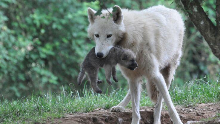 Naissance de 5 bébés loups Arctiques à Planète Sauvage