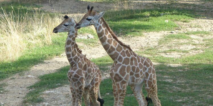 Naissance d'un girafon en Rhône-Alpes