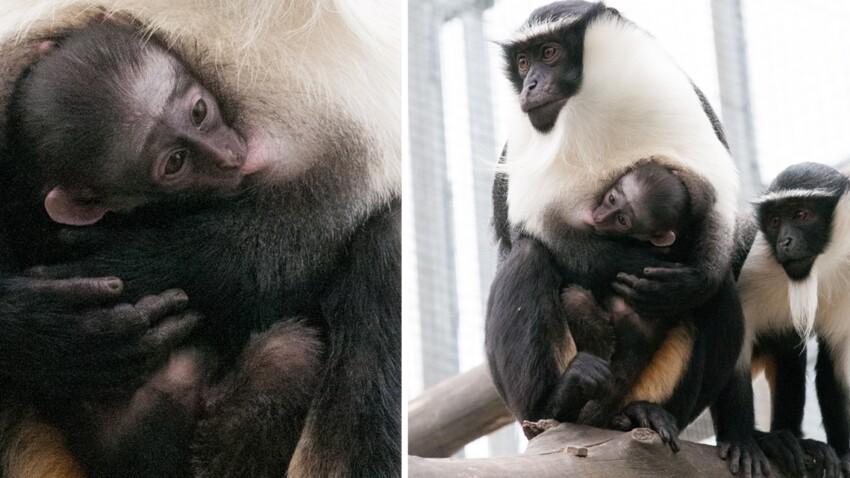 Naissance exceptionnelle d'un bébé singe à Mulhouse