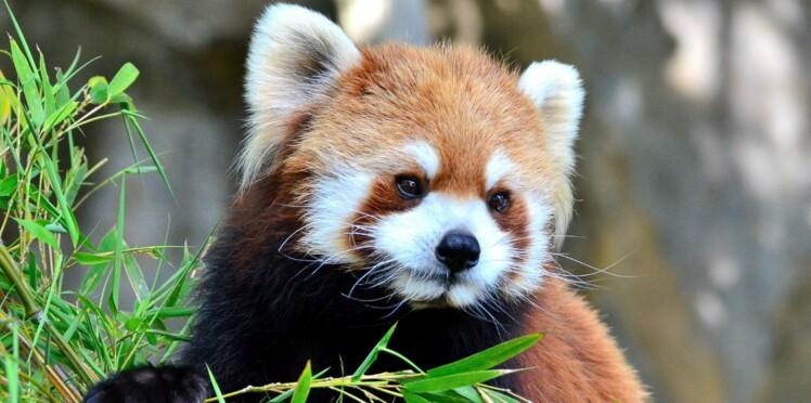 Les pandas roux vous attendent !