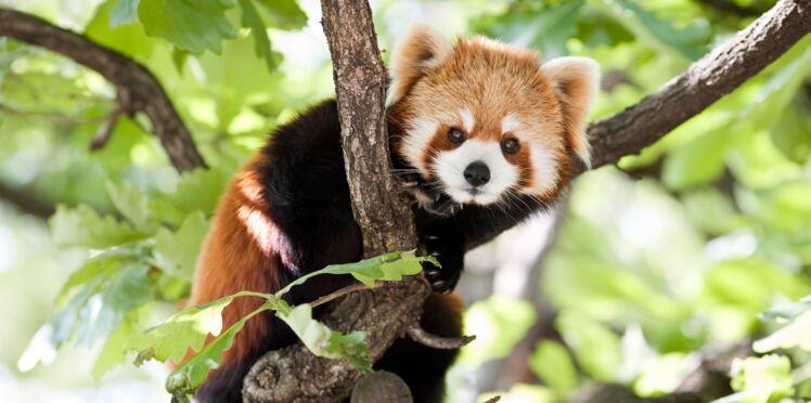 Pandas roux, nouvelles cibles des braconniers en Asie
