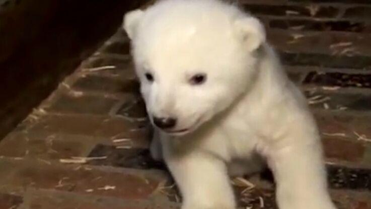 VIDÉO - Trop mignon, le petit ours polaire, dernier né du zoo de Berlin