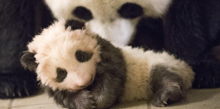 Les premiers pas du bébé panda du Zoo de Beauval