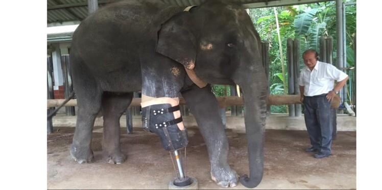Un éléphant reçoit une patte artificielle pour se déplacer à nouveau
