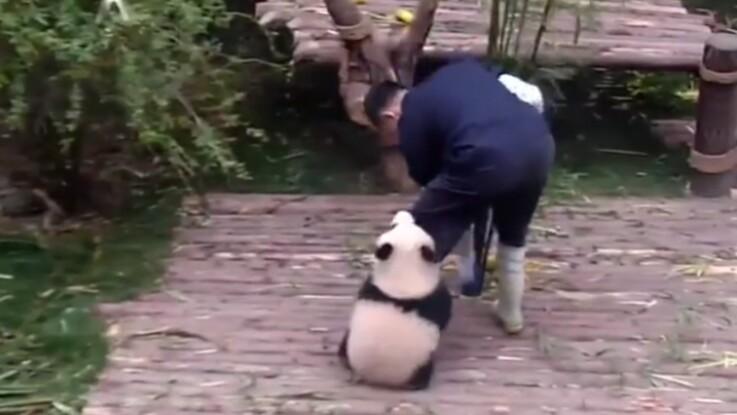 Trop mignon, un bébé panda ne veut plus quitter son soigneur