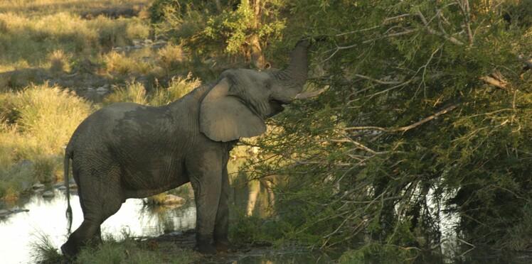 L'administration Trump abandonne l'autorisation d'importer des trophées d'éléphants